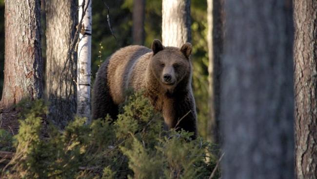 Forlengelse av iverksatt fellingstillatelse for 1 bjørn – Midtre Gauldal, Holtålen, Selbu og Tydal