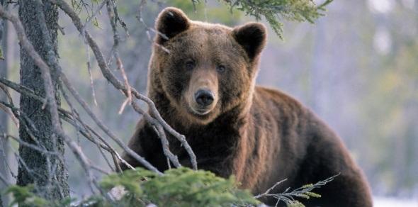 Søker personer til skadefellingslag for store rovdyr – Holtålen