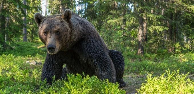 Lisensjakt på bjørn er åpnet i deler av Holtålen